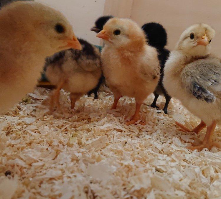 Kita Bissendorf Hühner4